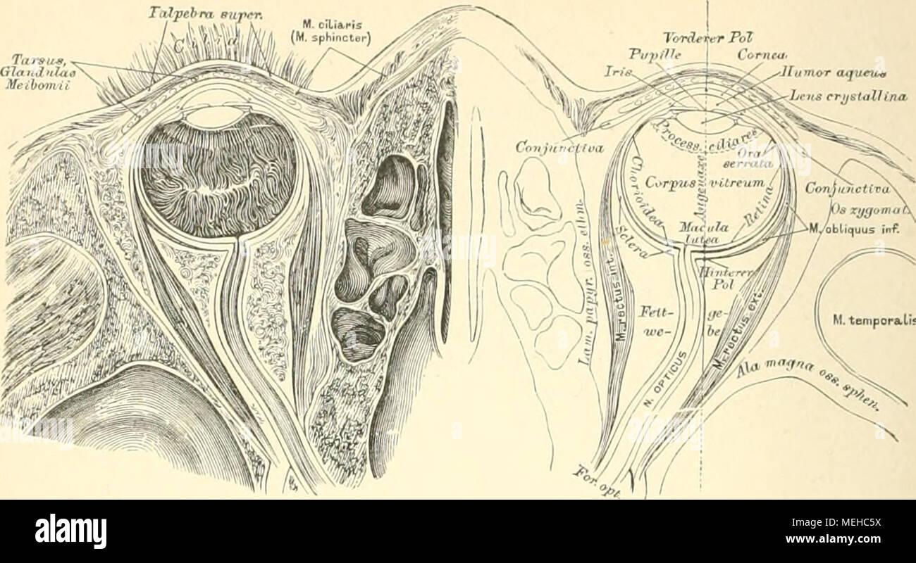 Fantastisch Hornhaut Auge Anatomie Galerie - Menschliche Anatomie ...