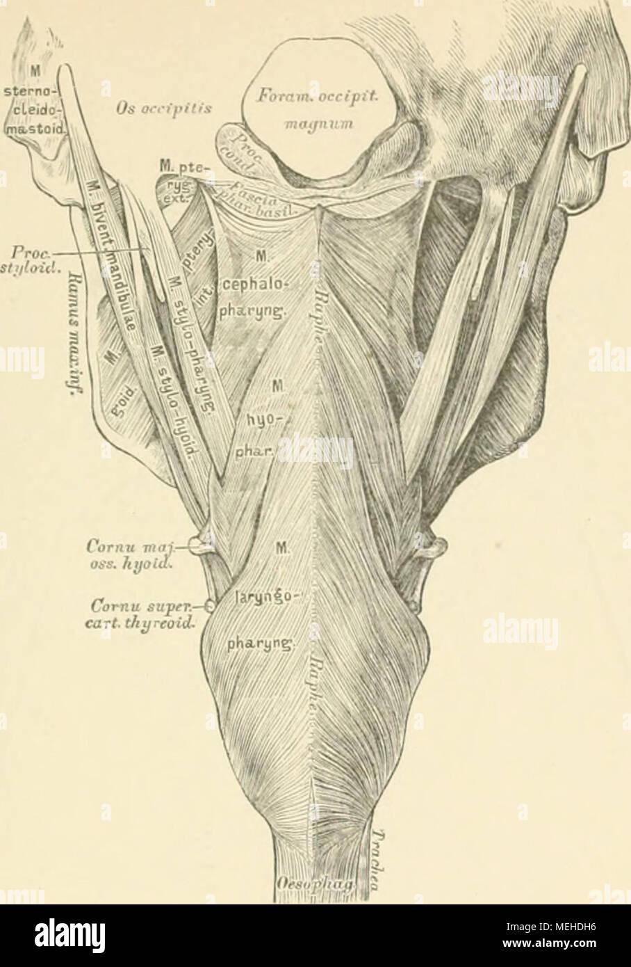 Fein Menschliche Muskeln Gekennzeichnet Zeitgenössisch - Anatomie ...