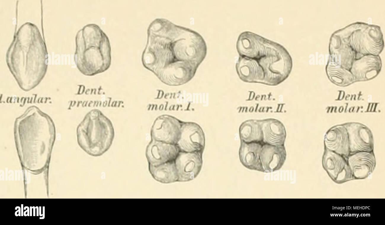 Fein Anatomie Eines Zahnes Fotos - Menschliche Anatomie Bilder ...