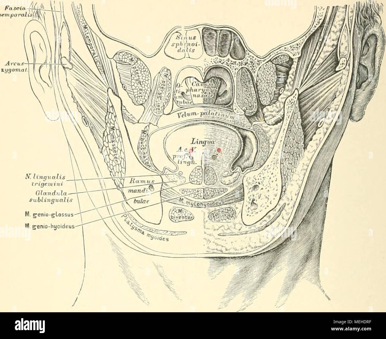 Fantastisch Mandeln Anatomie Und Physiologie Ideen - Physiologie Von ...