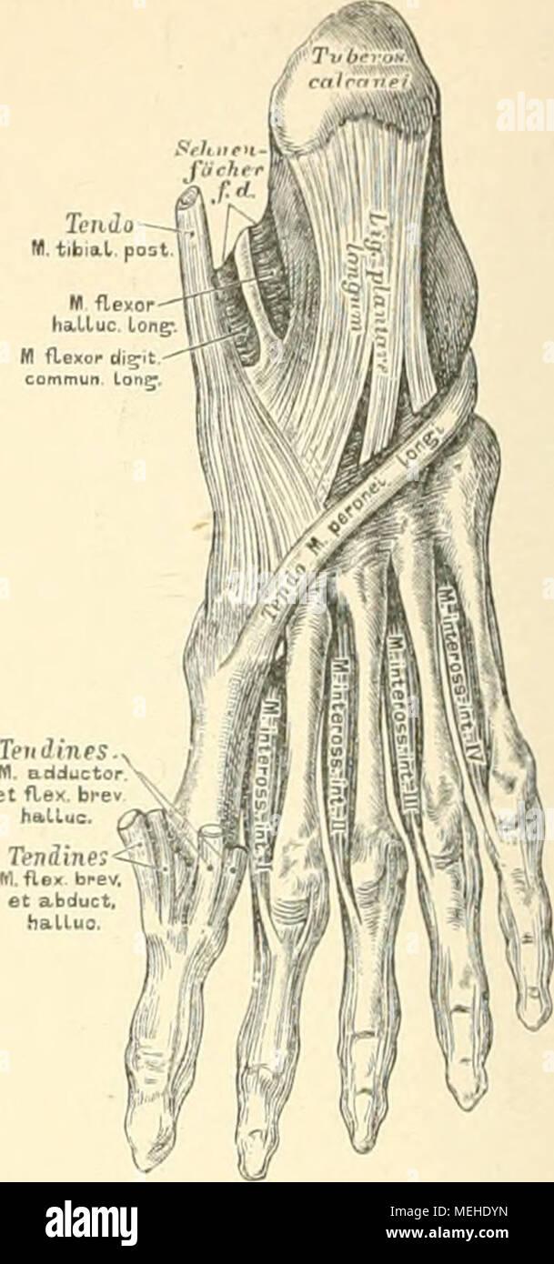 Die descrittivo topographische und anatomie des Menschen . 347. Die ...