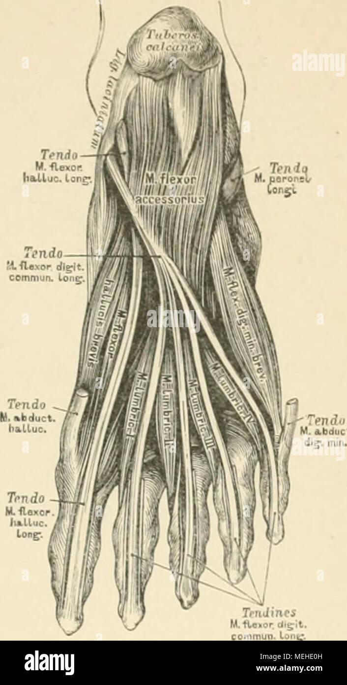 Die descrittivo topographische und anatomie des Menschen . 345. Die ...