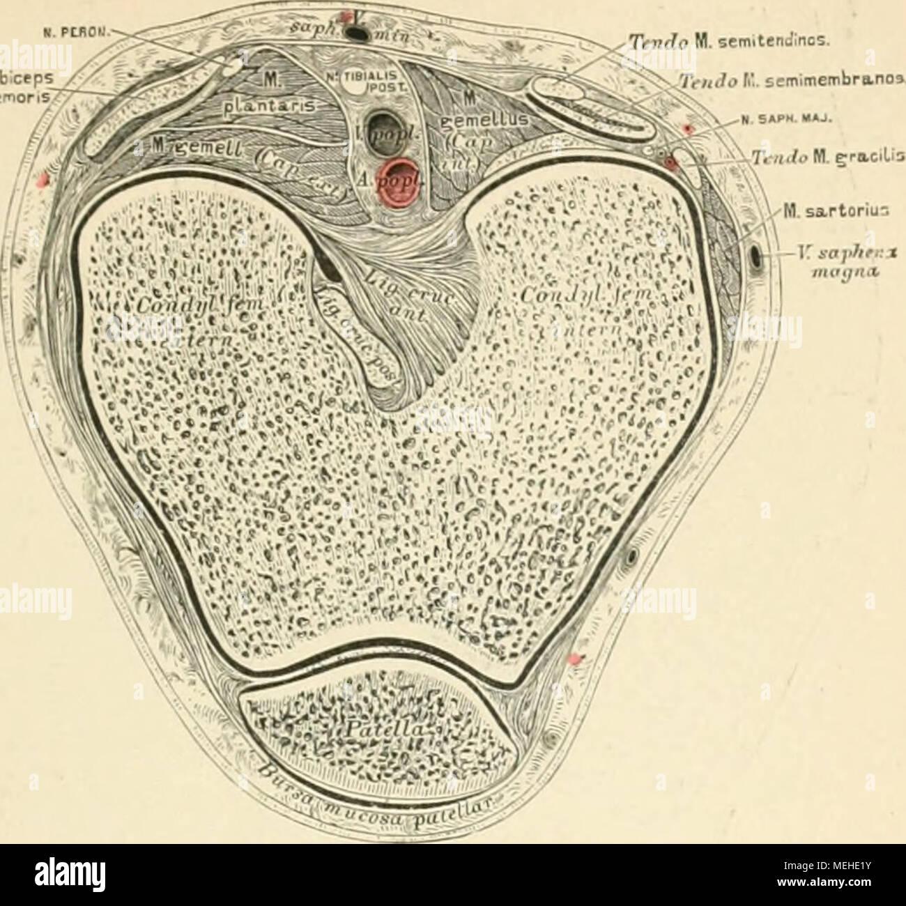 Die descrittivo topographische und anatomie des Menschen . ;&Gt ...