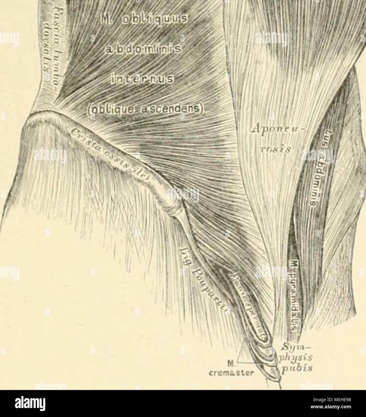 Ungewöhnlich Muskeln Bauch Anatomie Zeitgenössisch - Menschliche ...
