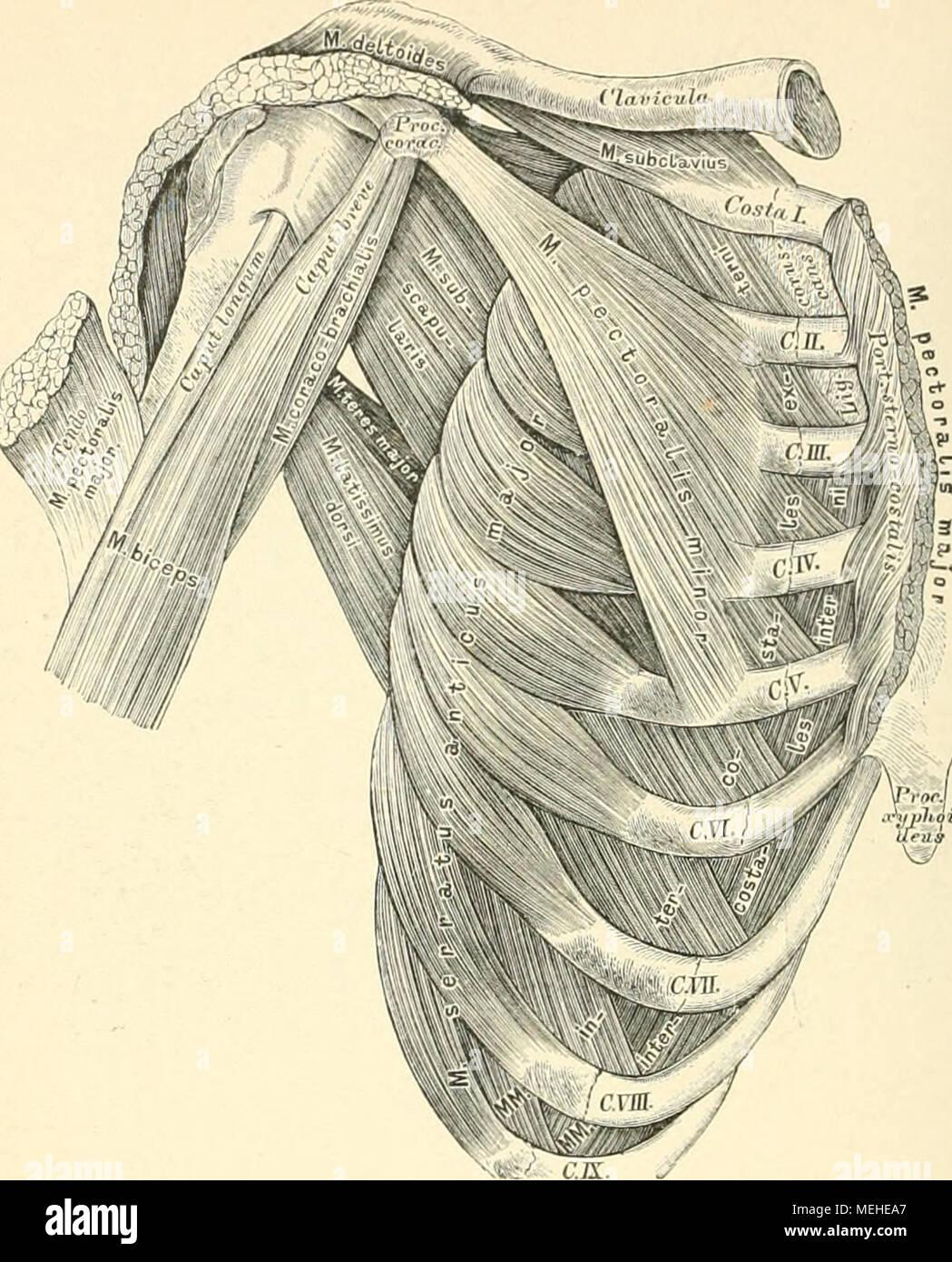 Tolle Menschliche Brustmuskulatur Zeitgenössisch - Menschliche ...