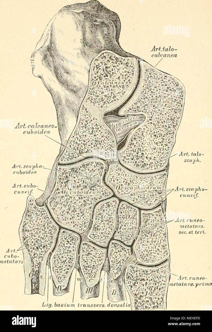 Gemütlich Anatomie Arten Von Gelenken Fotos - Anatomie Von ...