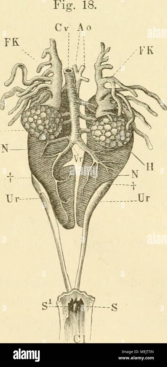 Berühmt Funktionelle Anatomie Der Niere Bilder - Menschliche ...