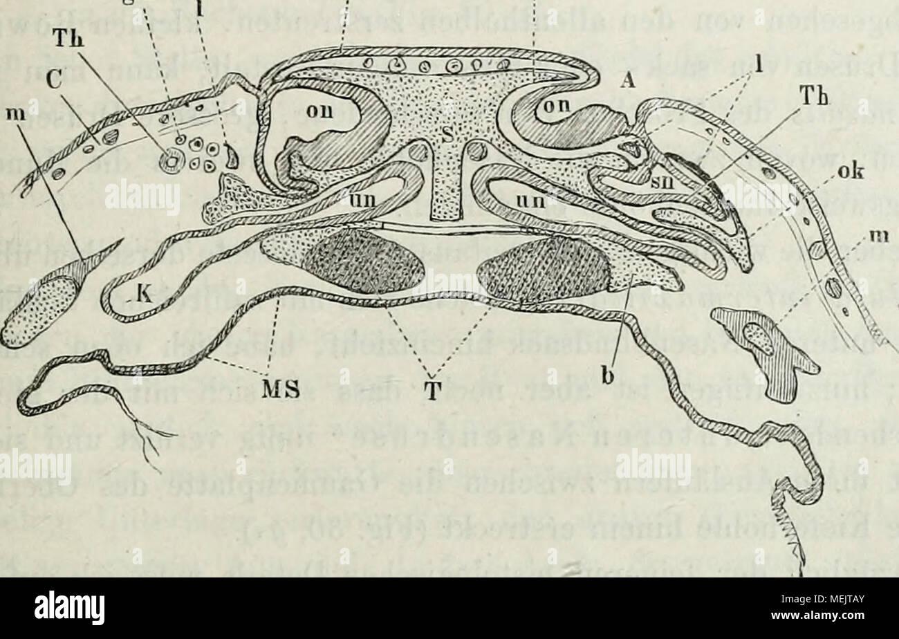 Die anatomie des Frosches : ein Handbuch, . Fig. 30. Quer- (frontale ...