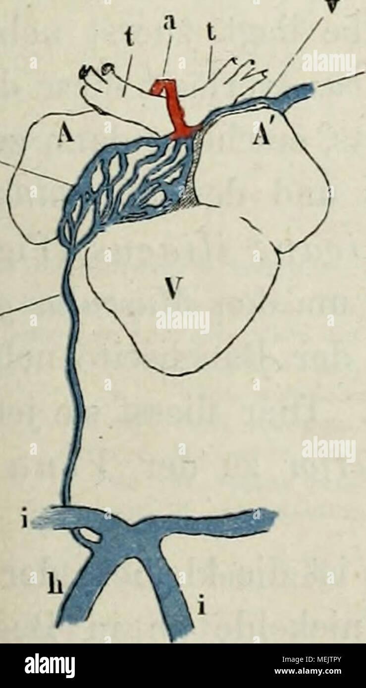 Die anatomie des Frosches : ein Handbuch, . Arterien und Venen des ...