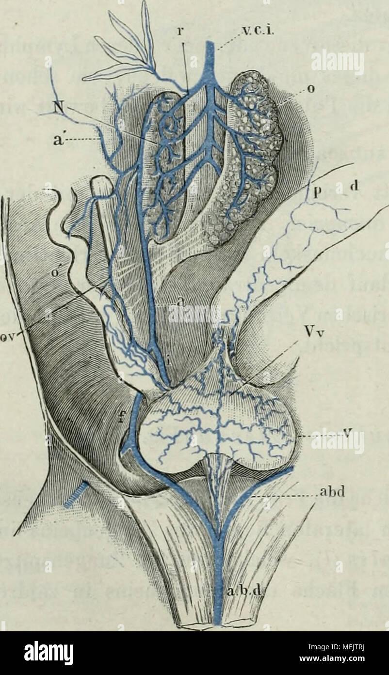Die anatomie des Frosches : ein Handbuch, . Nieren venensystem. Yci ...