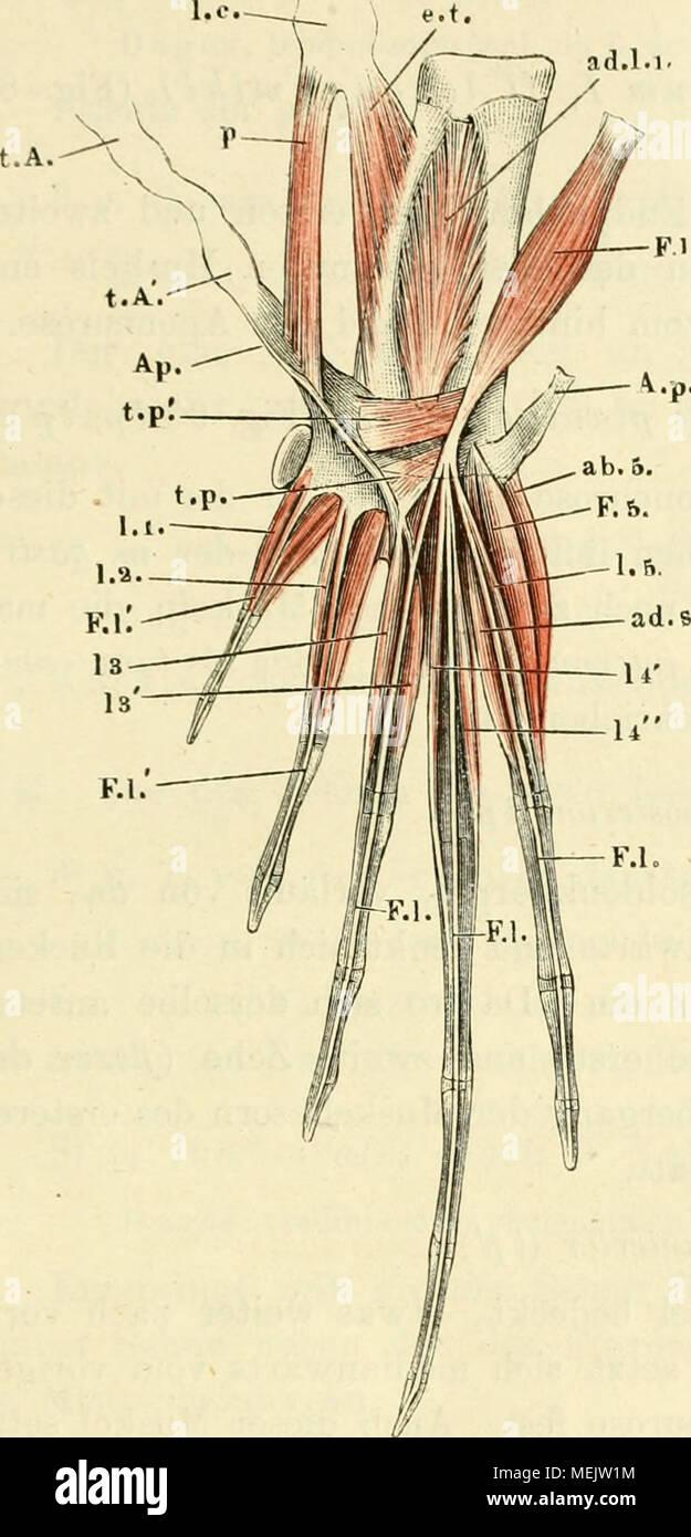 Schön Luftsack Anatomie Ideen - Menschliche Anatomie Bilder ...