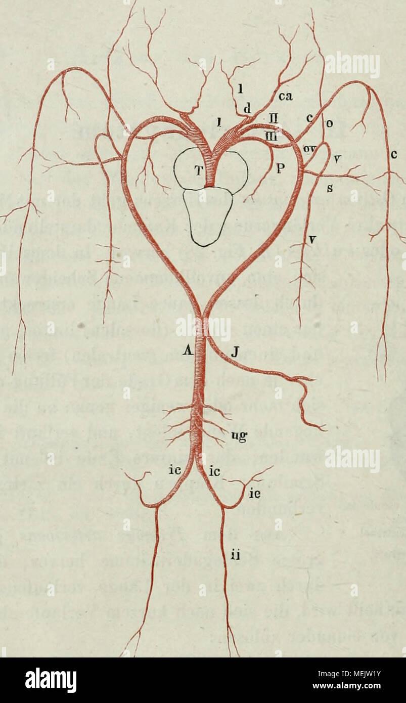 Großartig Subclavia Zweige Anatomie Ideen - Menschliche Anatomie ...