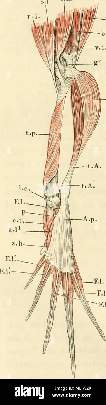 Wunderbar Muskelanatomie Test Galerie - Anatomie Von Menschlichen ...
