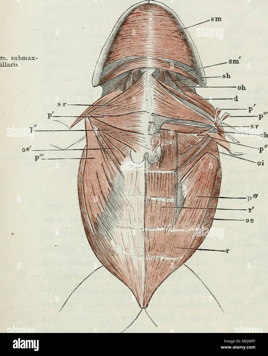 Ungewöhnlich Die Anatomie Des Halses Ideen - Physiologie Von ...