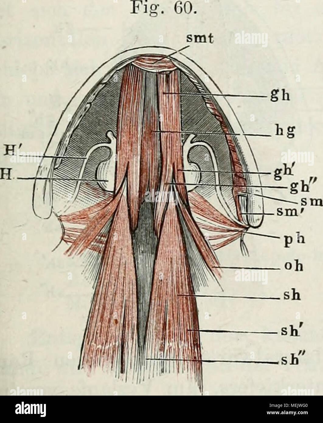 Die anatomie des Frosches : ein Handbuch, . Muskeln des Zungenbeins ...