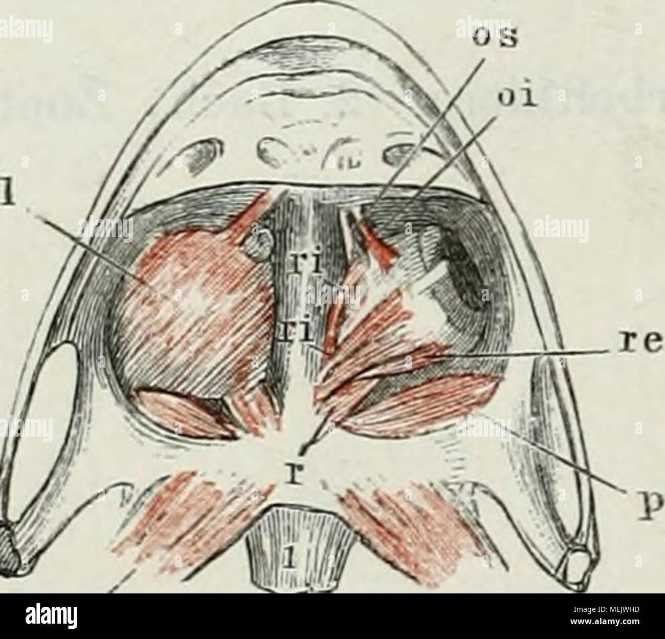 Pterygoideus Immagini & Pterygoideus Fotos Stock - Alamy