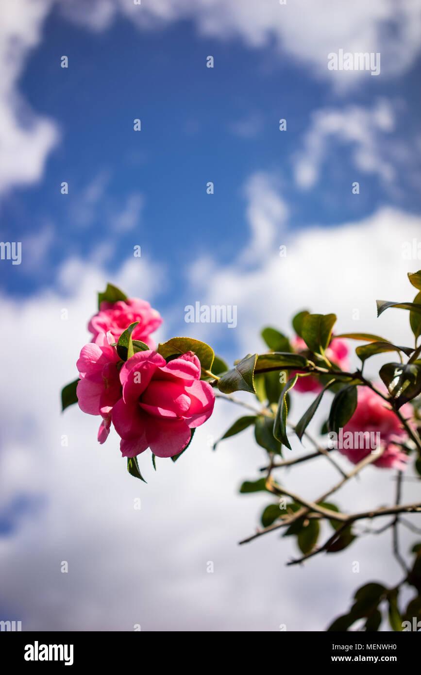 Rosa petaled camelia fiori in Inghilterra Immagini Stock