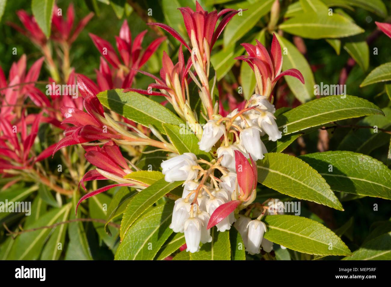 Sarcococca, Foresta Fiamma (Sarcococca Japonica) Con Fiori Di Primavera. Un  Compatto, Arrotondati, Arbusto Sempreverde Coltivato Per La Sua  Visualizzazione ...