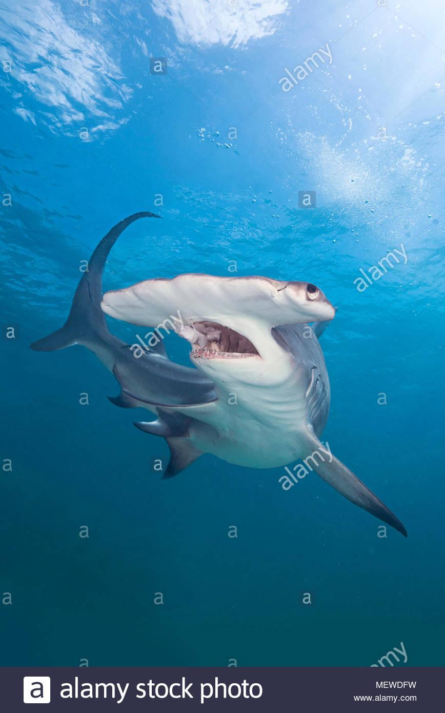 Grosser Hammerhai (Sphyrna mokarran), Maul offen, Bimini, Bahamas   grande squalo martello (Sphyrna mokarran), a bocca aperta, Bimini Island, Bahamas Immagini Stock