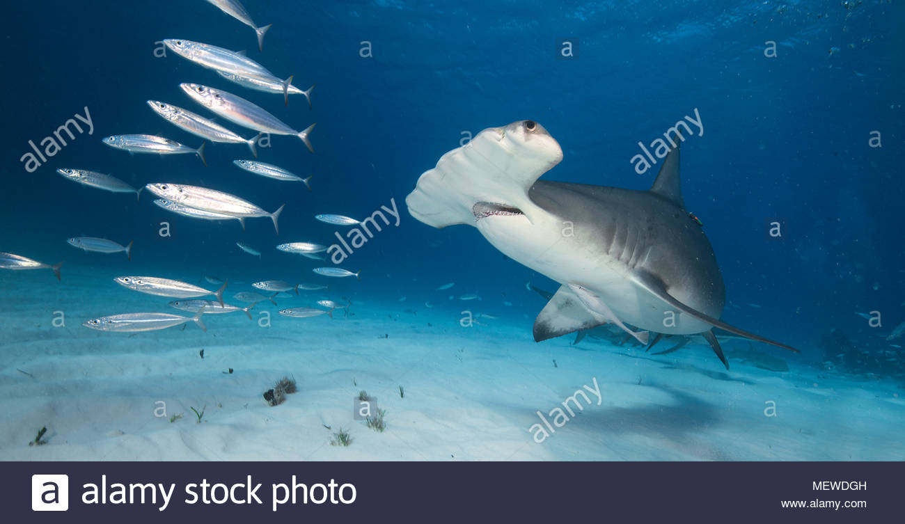 Grosser Hammerhai Sphyrna Mokarran Jagt Fische Bimini Bahamas