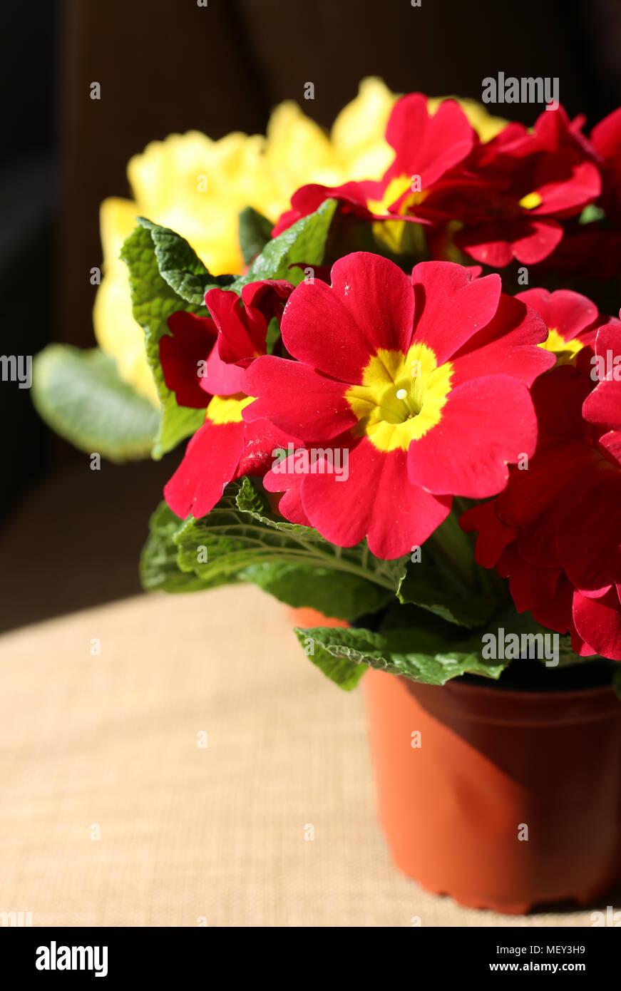 Bellissimi fiori rossi e gialli fotografati sotto luce naturale. Colori brillanti e una luce interessante. Immagini Stock