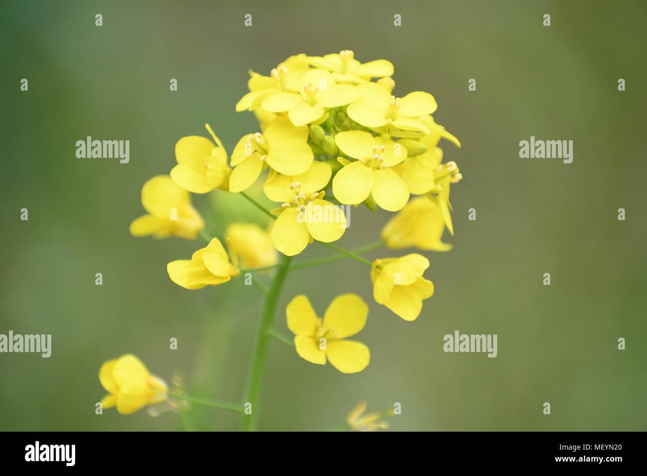 Foto Fiori Gialli.Cluster Di Minuscoli Fiori Gialli Che Crescono In Un Giardino