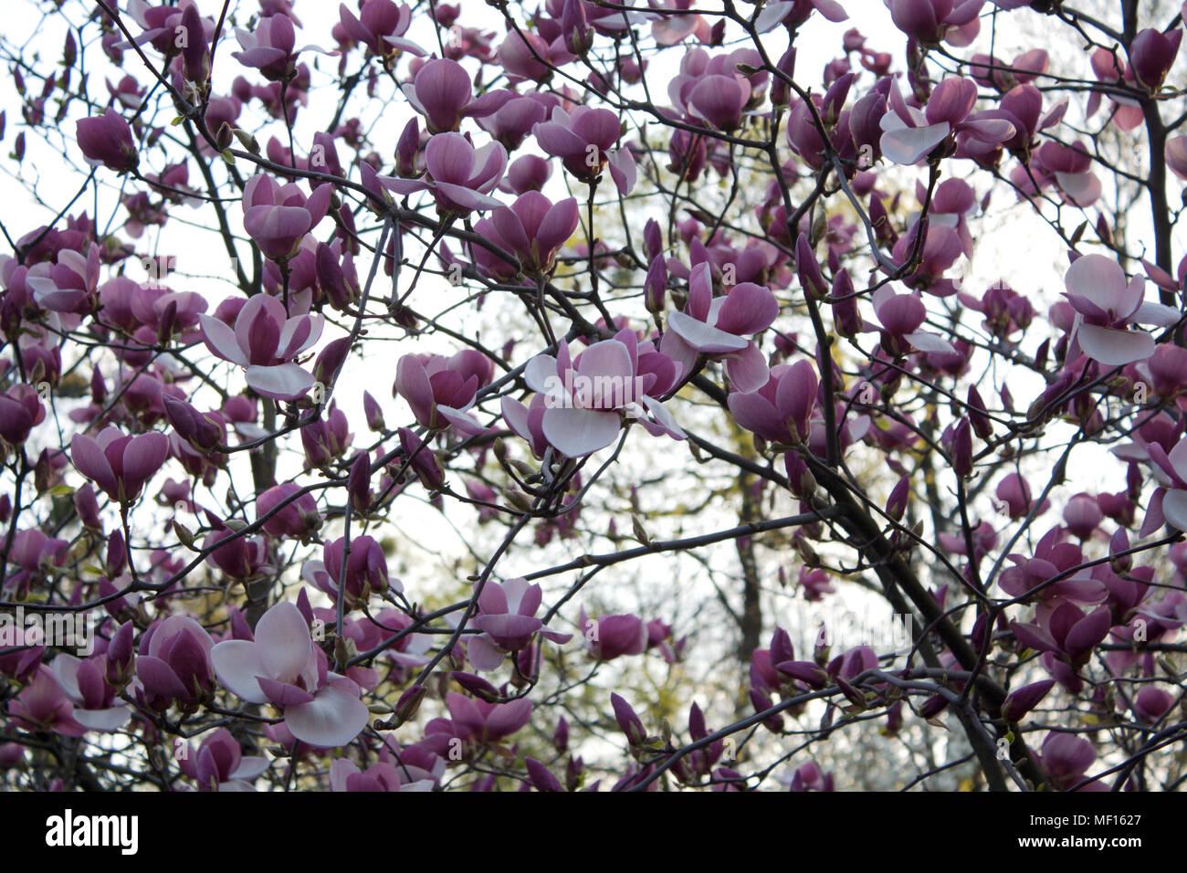 Fiori Bianchi Viola.Albero Di Magnolia Il Ramo In Fiore Con Viola E Fiori Bianchi Foto