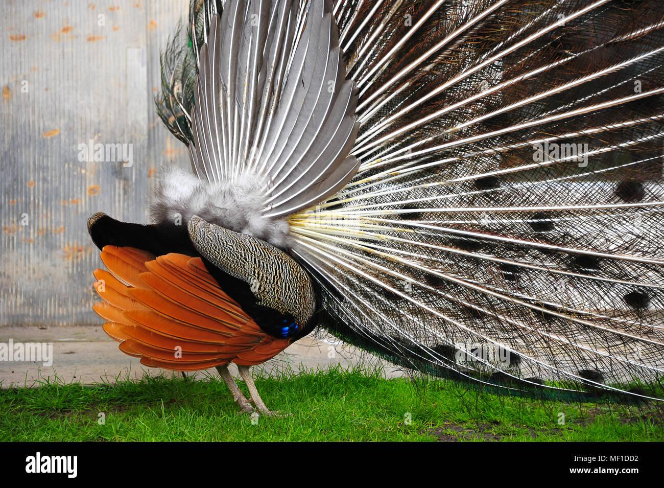 uccelli di un corteggiamento di piume incontri Sims iPad