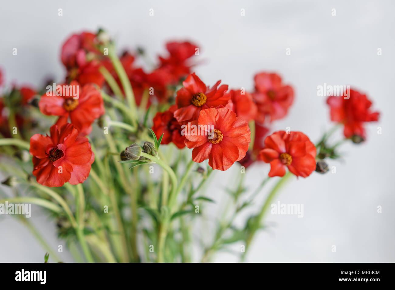 Tipi Di Fiori Rossi.Bella Renoncules Bush Fiori In Un Vaso Su Una Tavola Bouquet Di