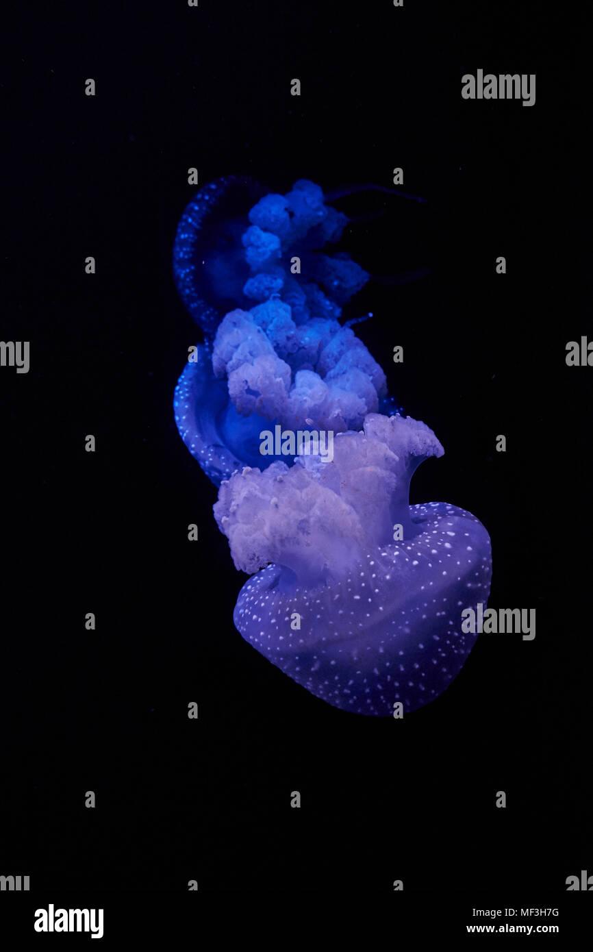 Blu meduse splendente di fronte a sfondo nero Immagini Stock