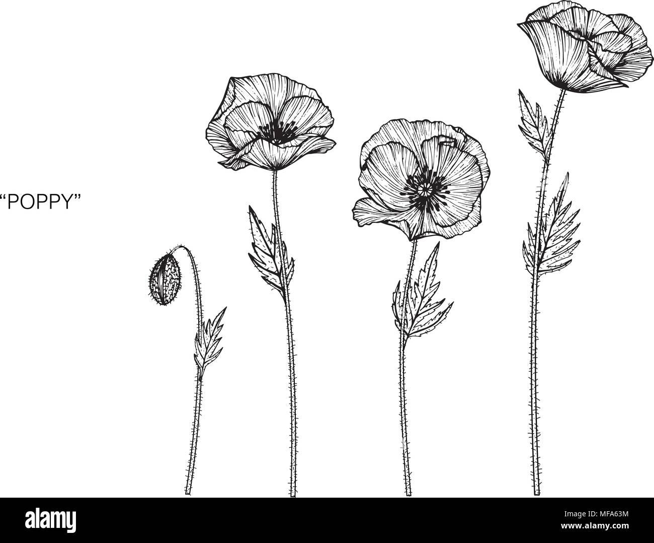 Fiore Di Papavero Disegno Illustrativo In Bianco E Nero Con La