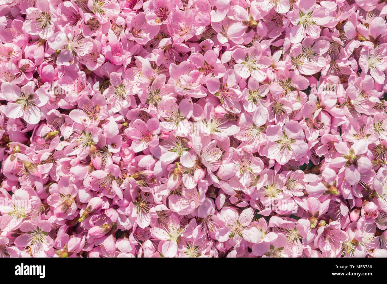 Delicatamente Lo Sfondo Di Colore Rosa Molti Rosa E Delicati Fiori