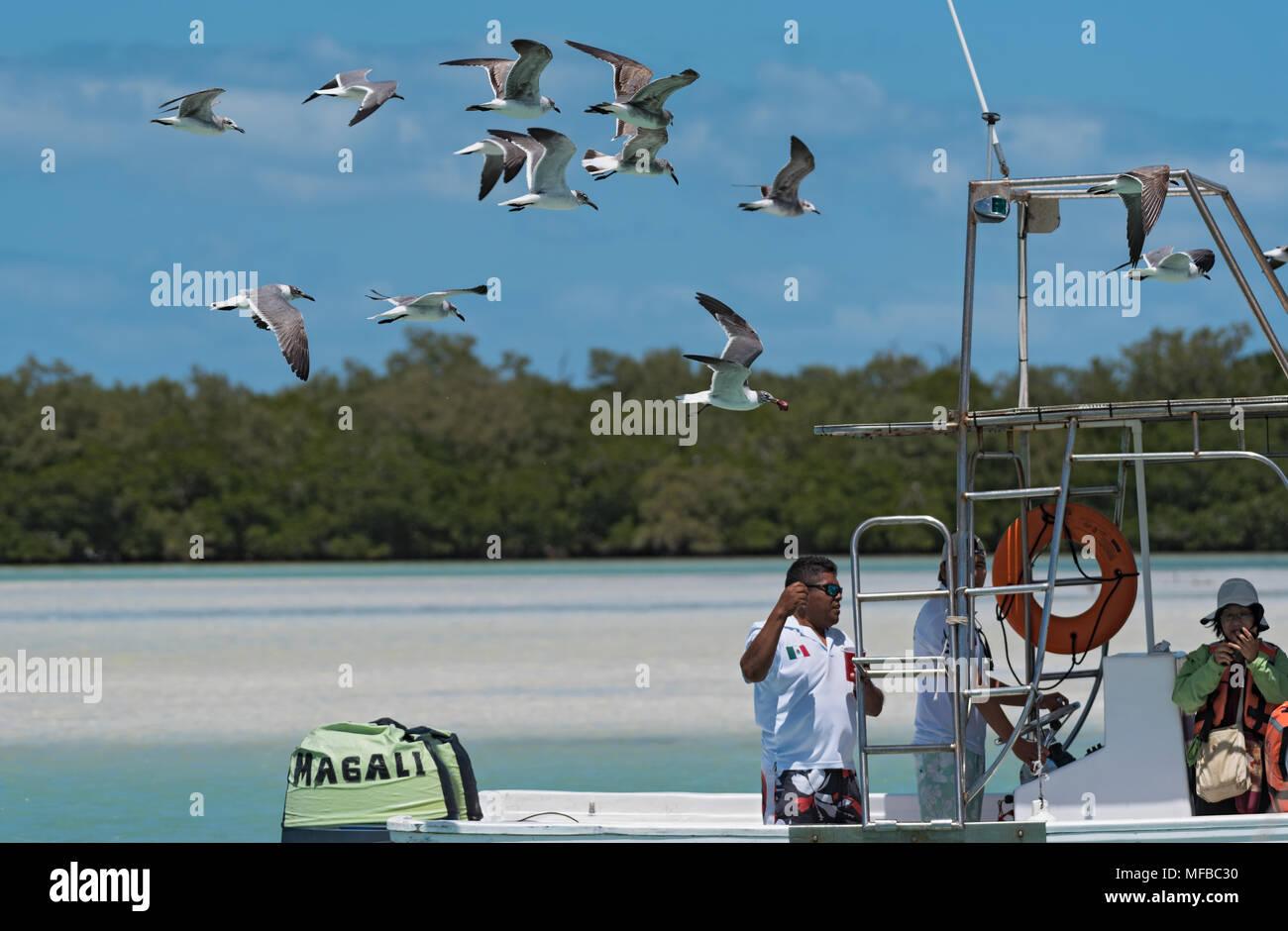 Escursione in barca di turisti con alimentazione a Gabbiani in Holbox Laguna Conil, Messico Foto Stock