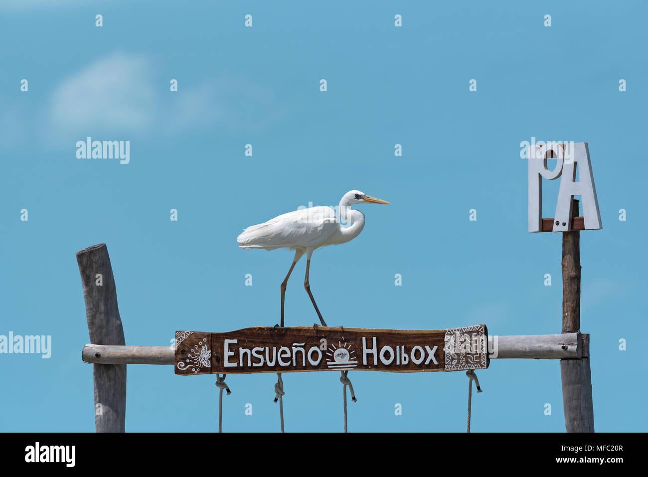 Airone bianco maggiore (Ardea alba) su un telaio di legno, di Holbox, Messico Immagini Stock