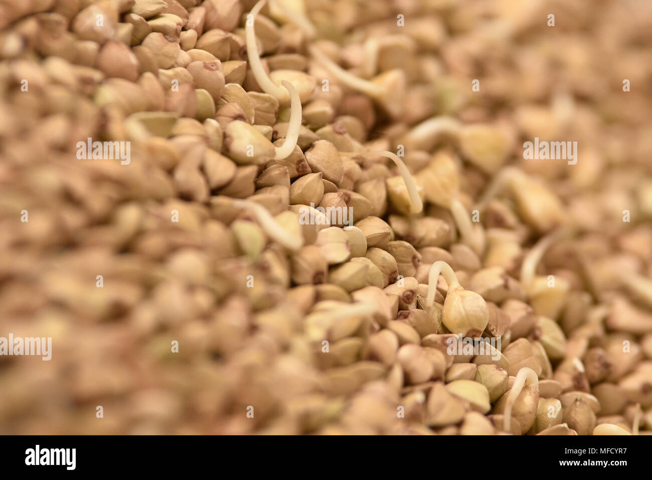 Brown groppa. Chicchi di grano saraceno. Cibo sano. I germogli. Immagini Stock
