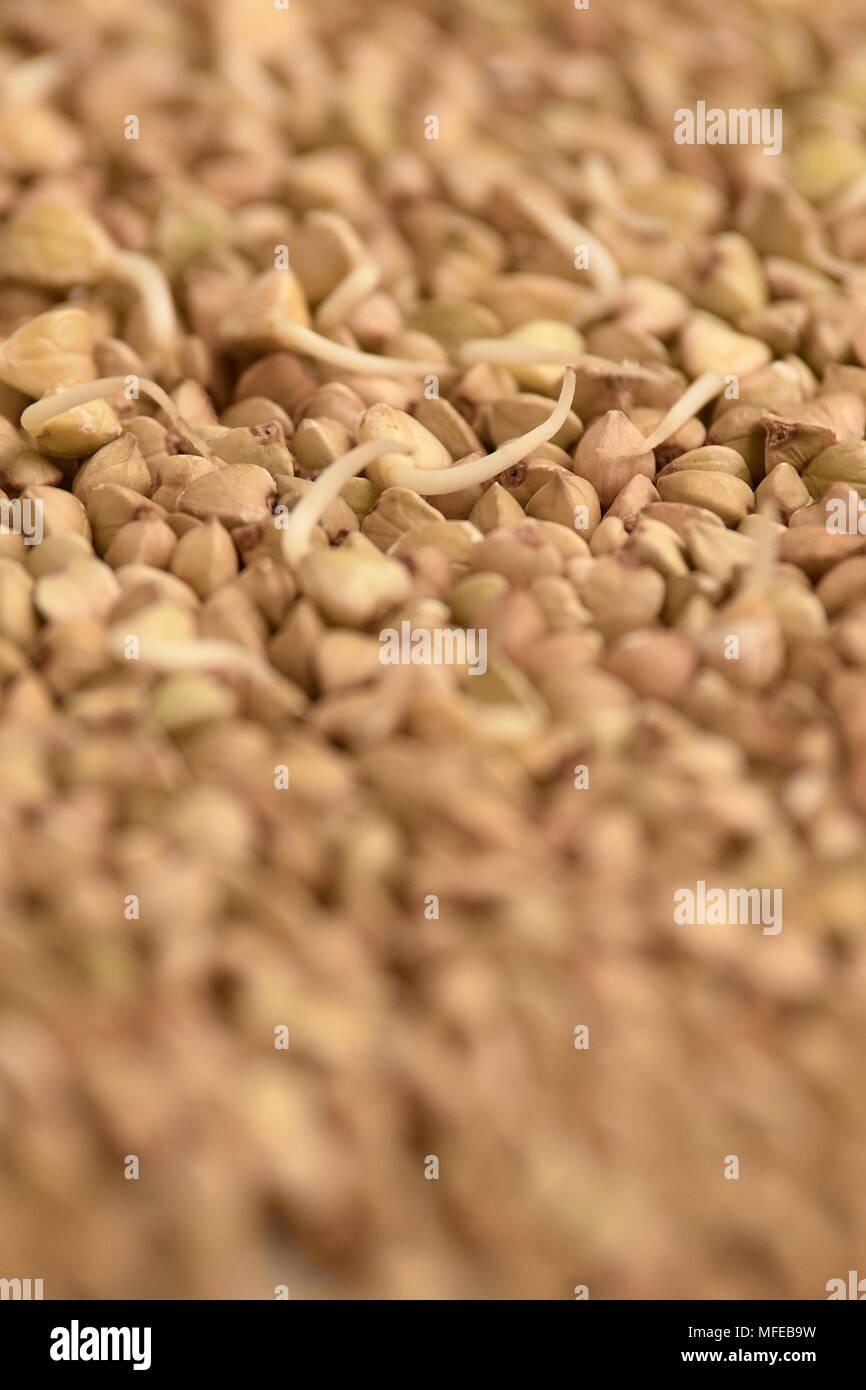 Brown groppa. I germogli. Chicchi di grano saraceno. Cibo sano. Immagini Stock
