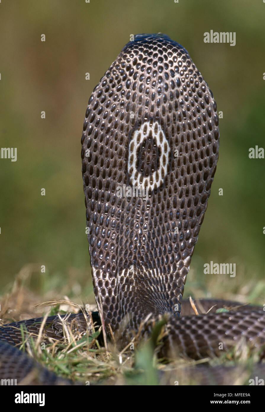 MONOCLED o SPECTACLED COBRA Naja naja kaouthia vista posteriore del cofano mostra monoclasse marcatura. Foto Stock