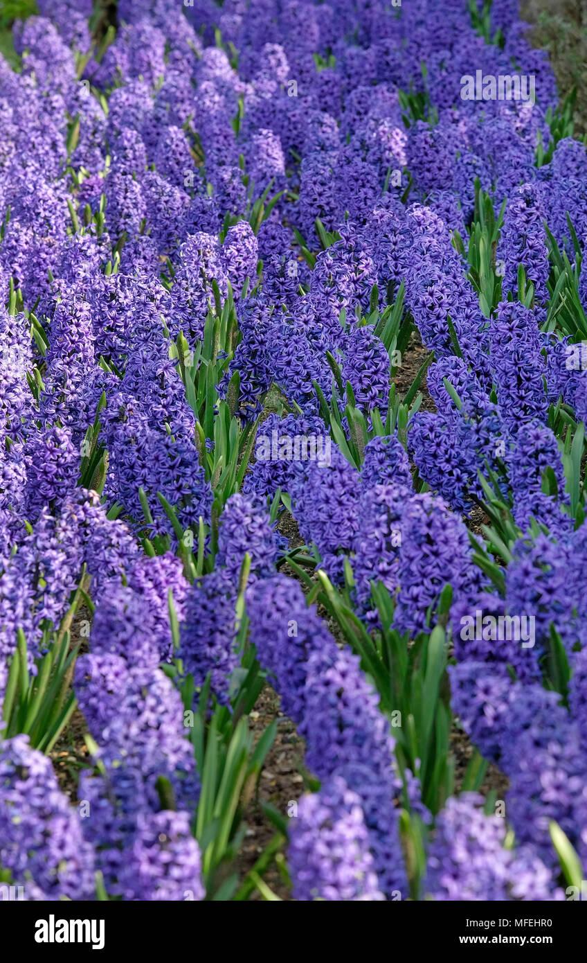 Giacinto fiori piantati in fiore border, Norfolk, Inghilterra Foto Stock