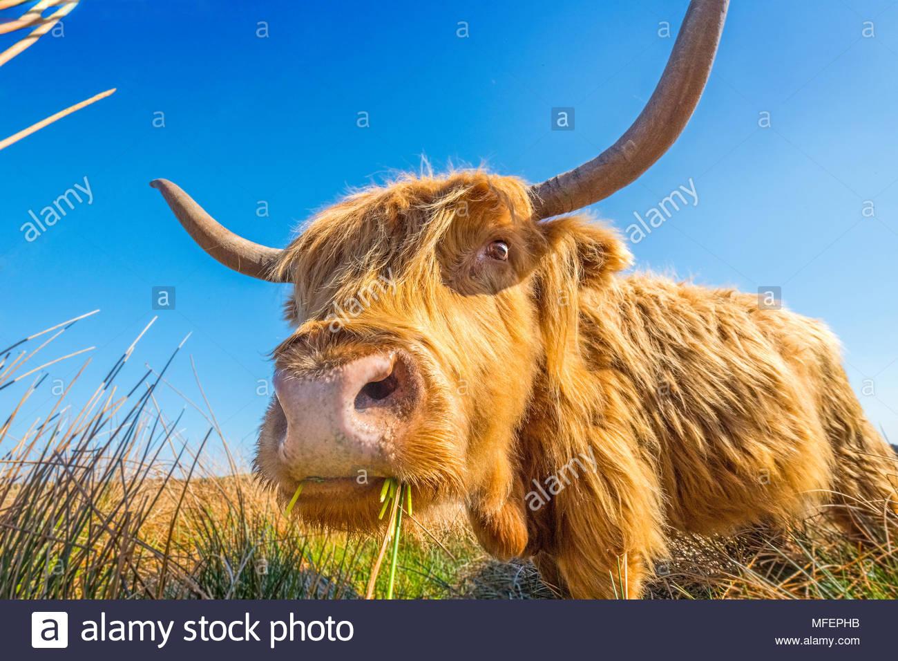 Highland mucca / il pascolo di bestiame sulla brughiera Immagini Stock