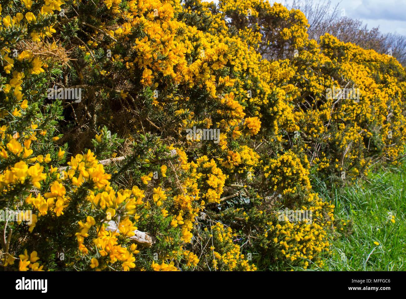 Fiori Gialli Irlanda.Fiori Di Colore Giallo Su Un Comune Whin Bush O Gorse