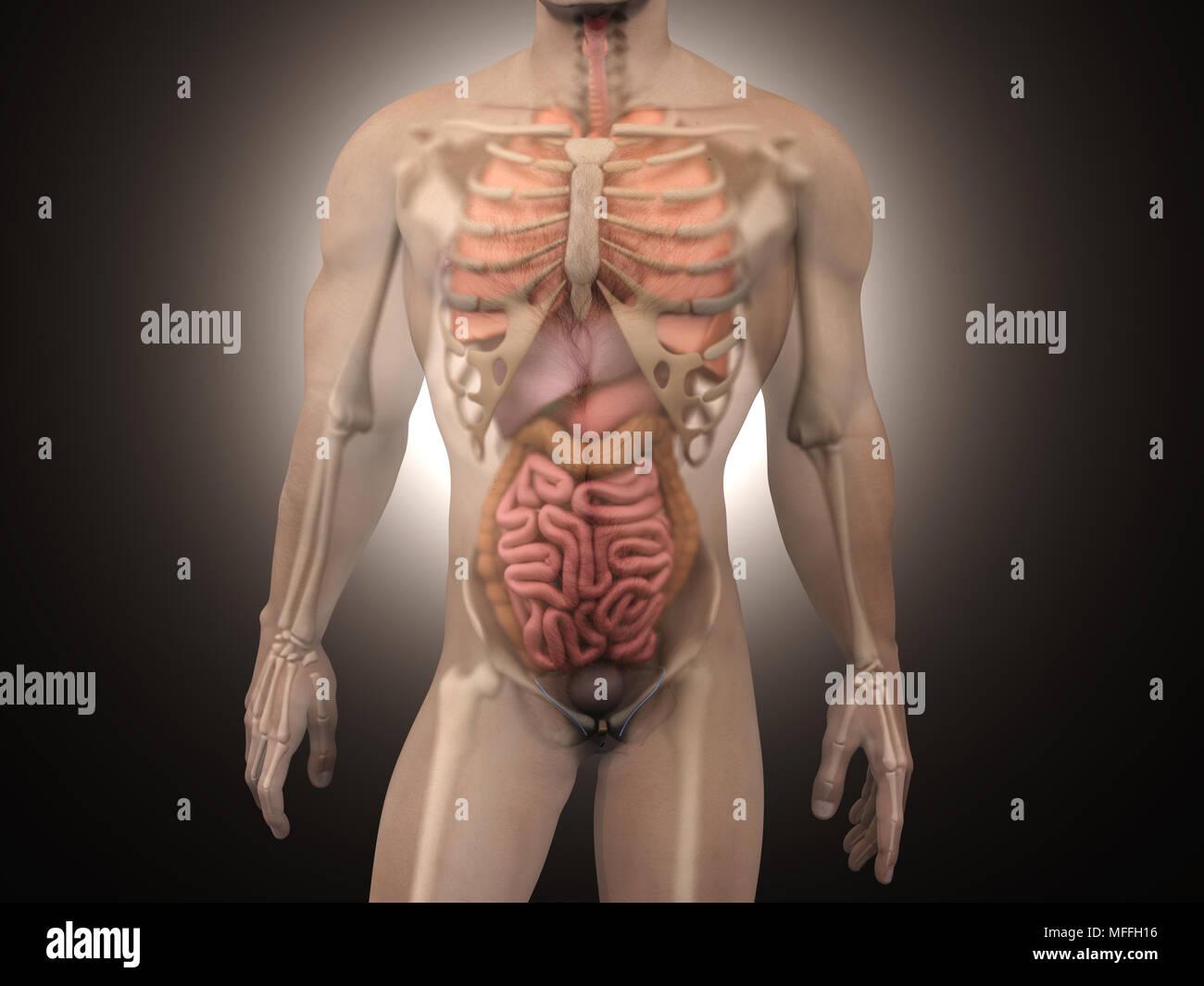 Atractivo Serpiente Anatomía Muscular Componente - Anatomía de Las ...