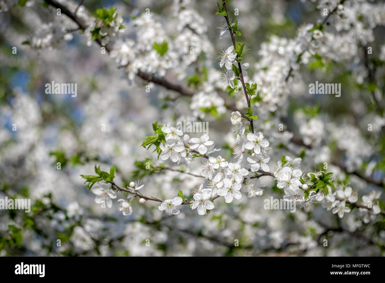 Albero Con Fiori Bianchi fioritura di albero di albicocche in primavera. fiori
