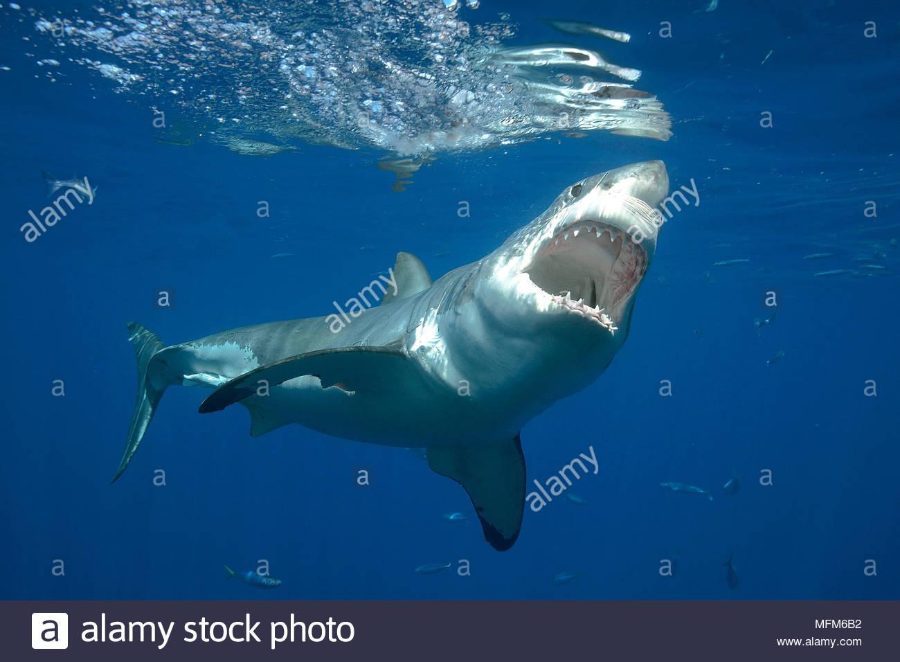 Il grande squalo bianco (Carcharodon carcharias), a bocca aperta, Guadelupe, Messico Immagini Stock