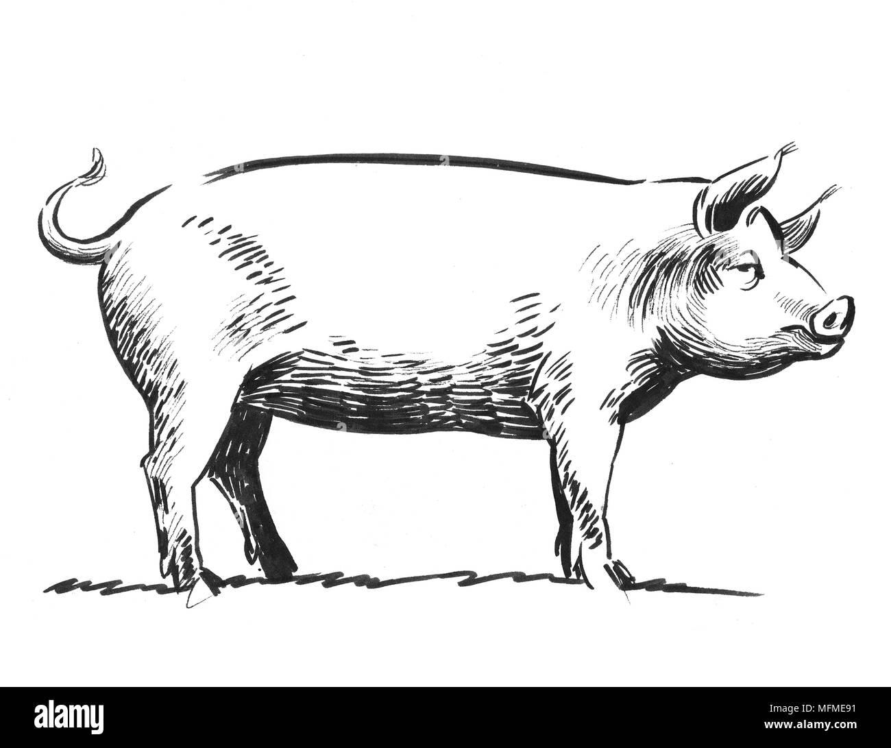 Linchiostro In Bianco E Nero Di Disegno Di Un Animale Di Maiale