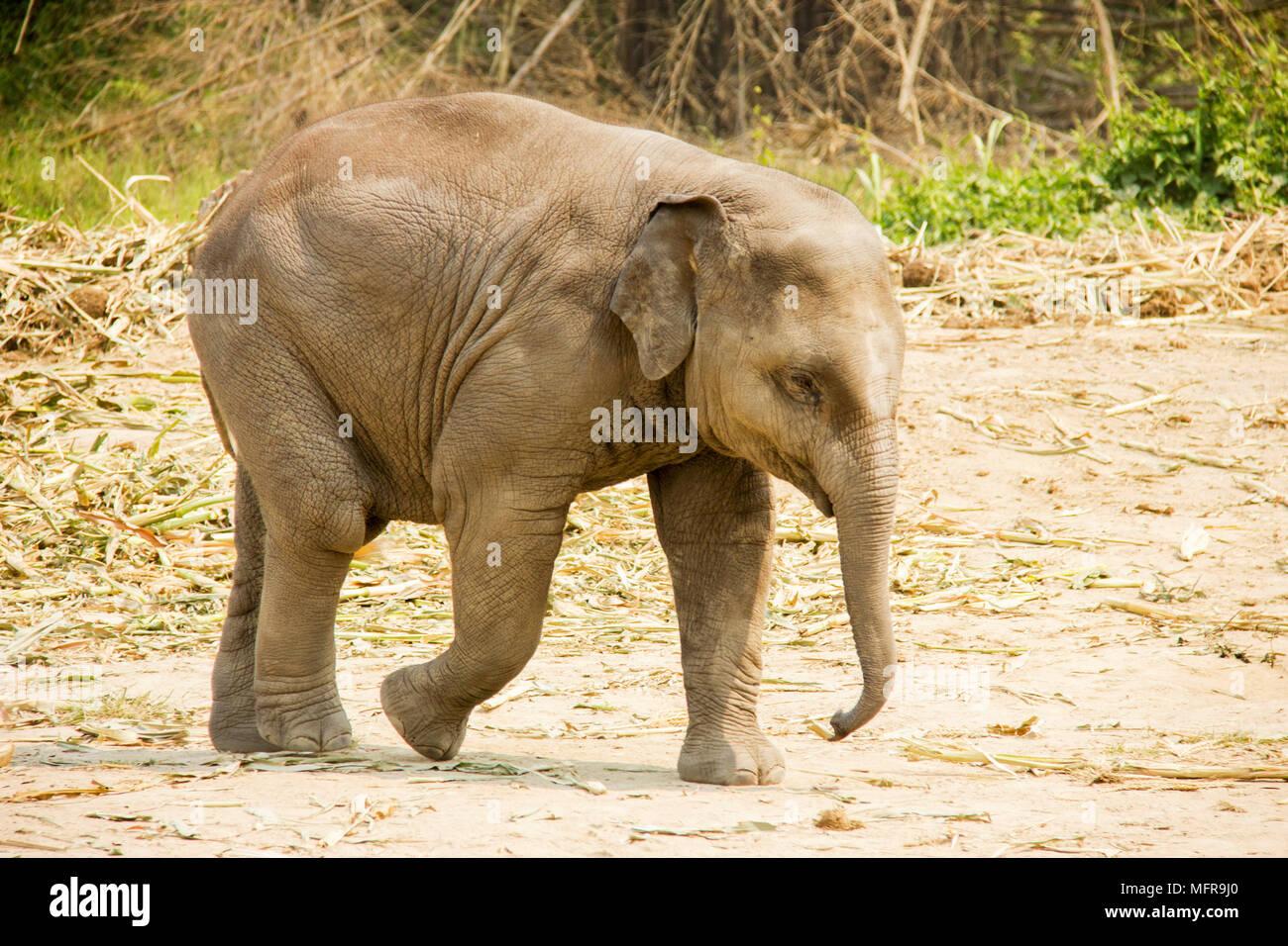Baby elefante Asiatico isolato a piedi nella natura Immagini Stock