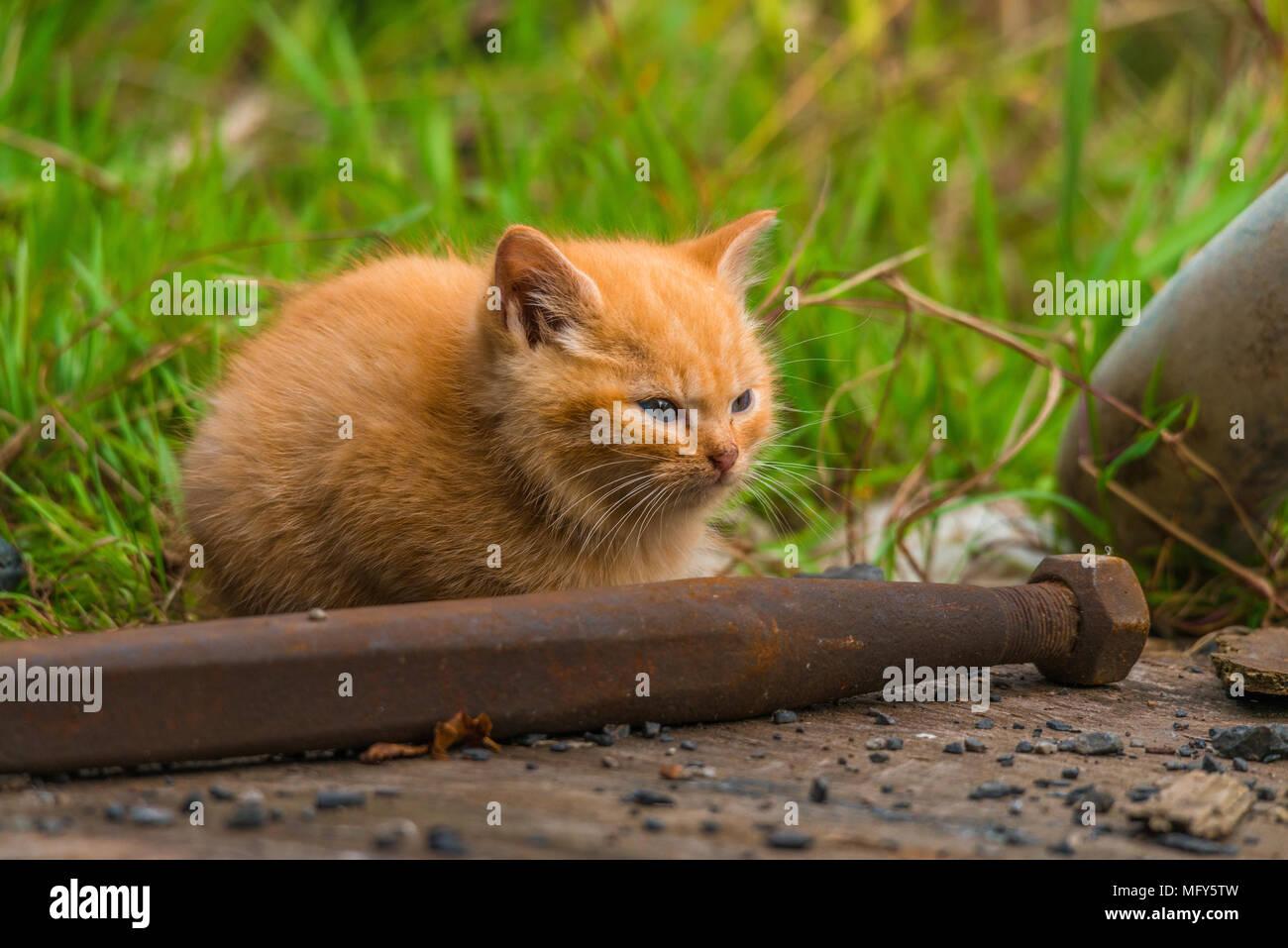 Piccolo Grazioso Cucciolo Rosso Il Gatto Con Gli Occhi Blu è