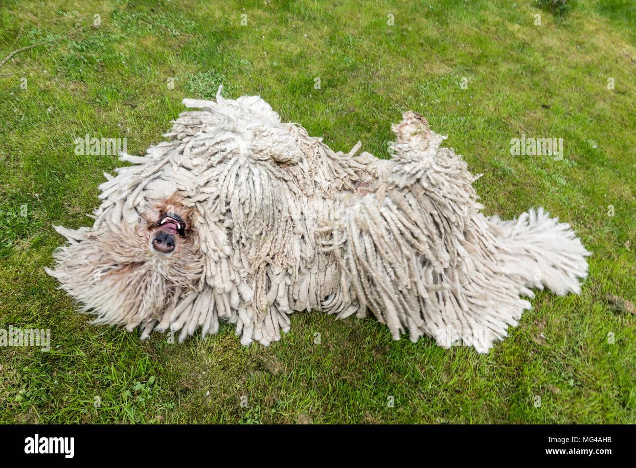 Grande bianco cane peloso comodor nel giardino. Komodor cane. Un cane  stupido commodore sull d12705660e3f