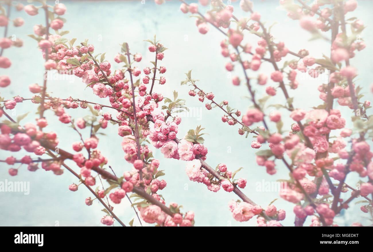 Primavera sbocciano i fiori delicati fiori rosa su vintage sfondo blu la bellezza di Natura Foto Stock