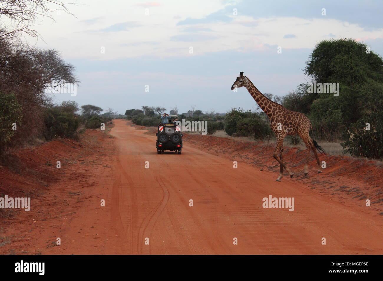 Una jeep si ferma mentre una giraffa attraversa la strada durante un safari in Kenya, con le luci del tramonto creando un atmosfera mozzafiato Immagini Stock