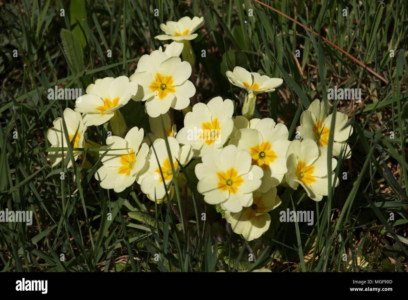 Fiori Gialli Bosco.Giallo Primrose Fiori Primula Vulgaris Fioritura In Shropshire